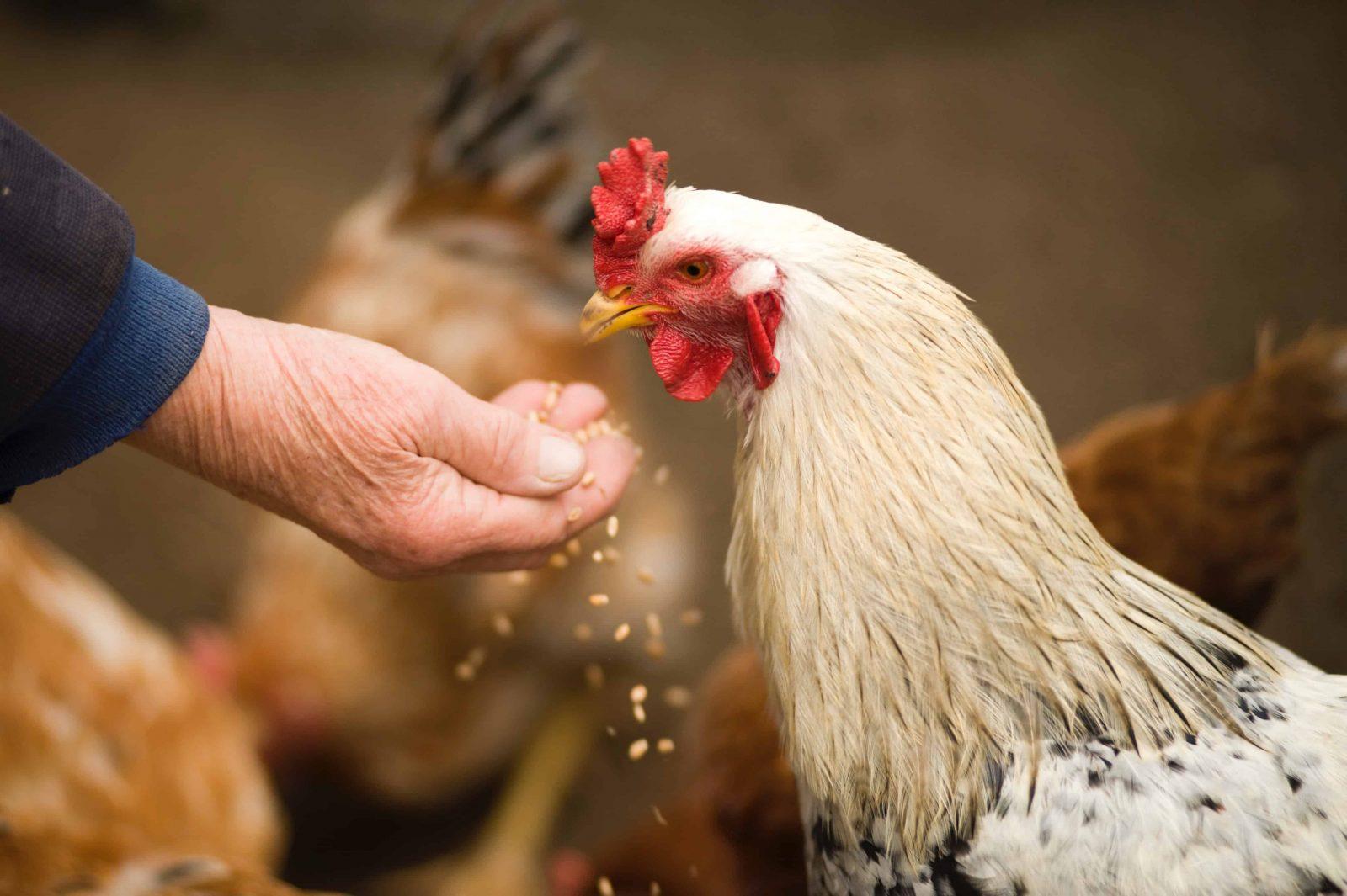 ¿Hormonas en la alimentación de los pollos? 12
